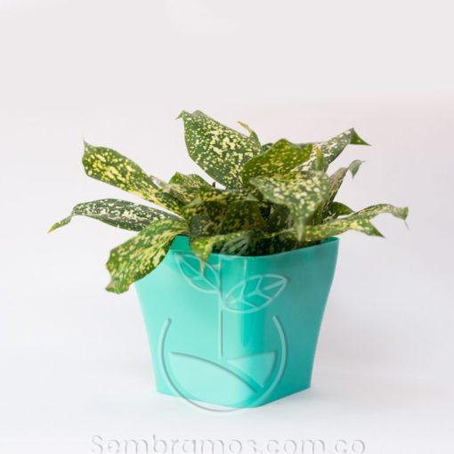 Planta Florida Beauty Mini en Maceta Quadria Azul Aguamarina